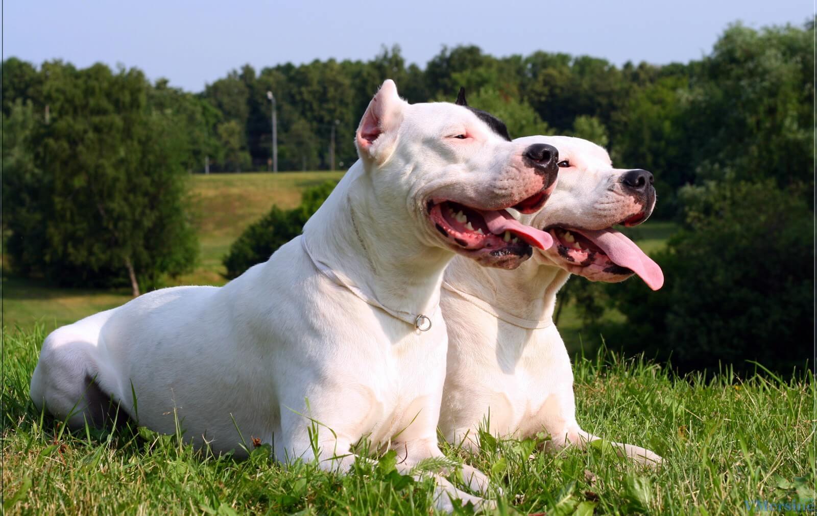 Аргентинский дог (мастиф) — порода собак