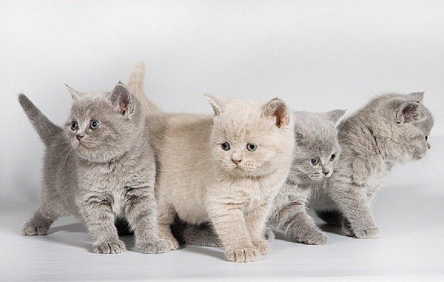 Кошка британская короткошёрстная: описание породы, особенности ухода и питания