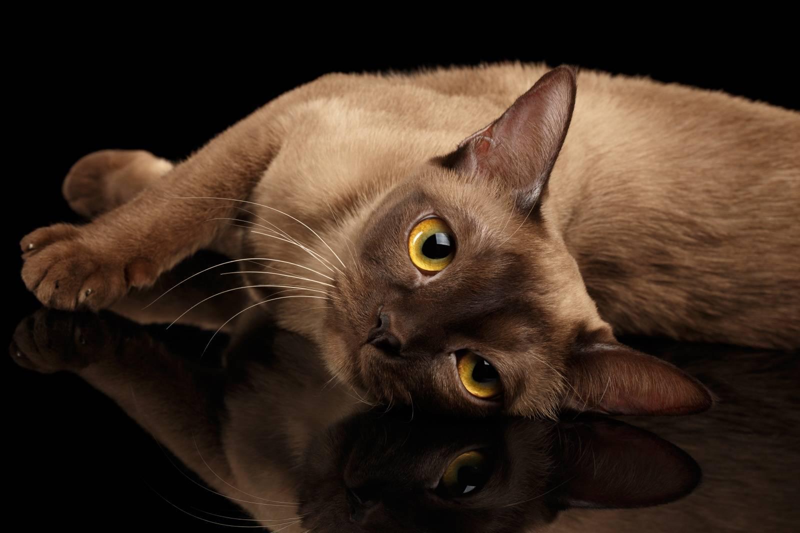 Бурманская кошка, характер котят и котов бурм
