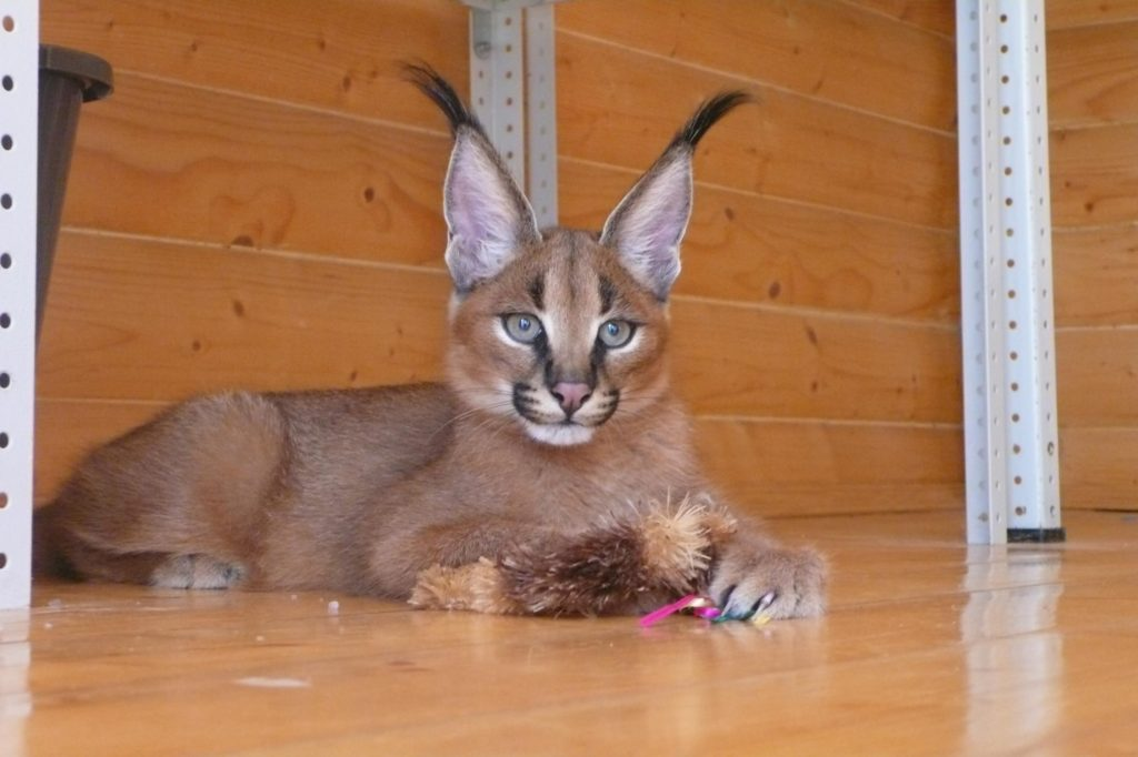 Каракал — большая кошка для любителей экзотики