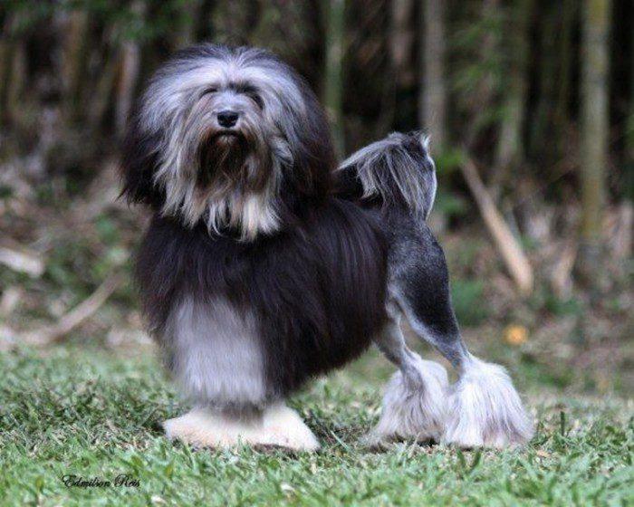 Малая львиная собачка лёвхен: особенности внешности, характера и ухода