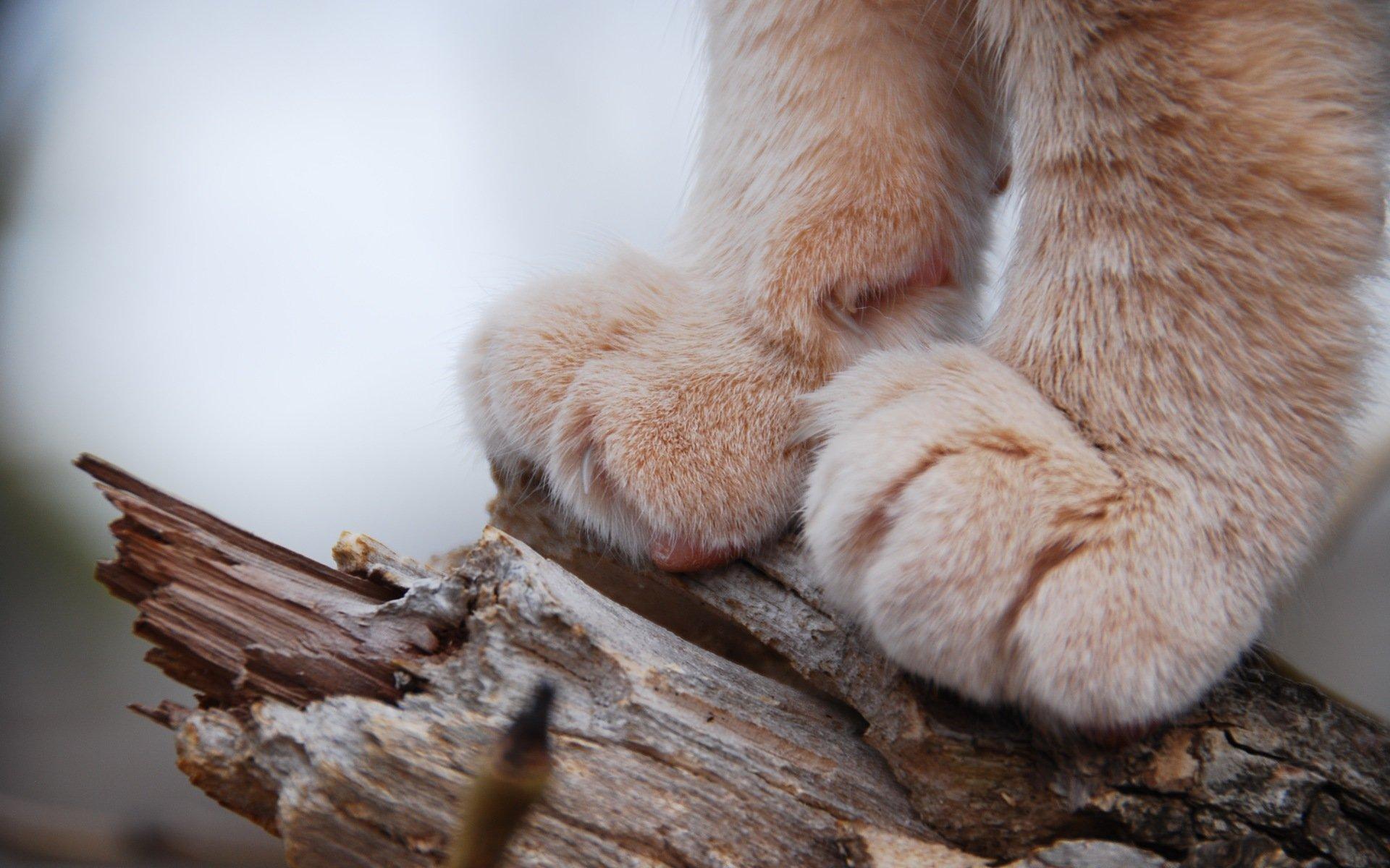 Сколько пальцев у кошки