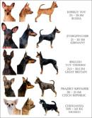 Немецкий пинчер: описание породы, характер