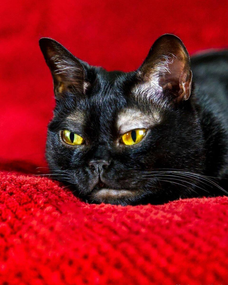 Бомбейская кошка — мини-пантера в каменных джунглях