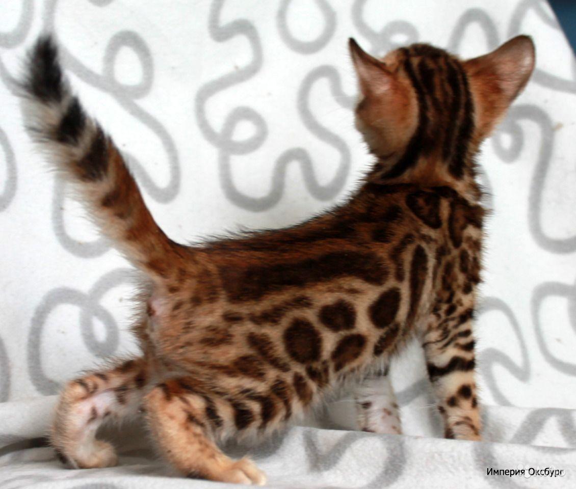 Леопард в миниатюре: особенности содержания бенгальской кошки