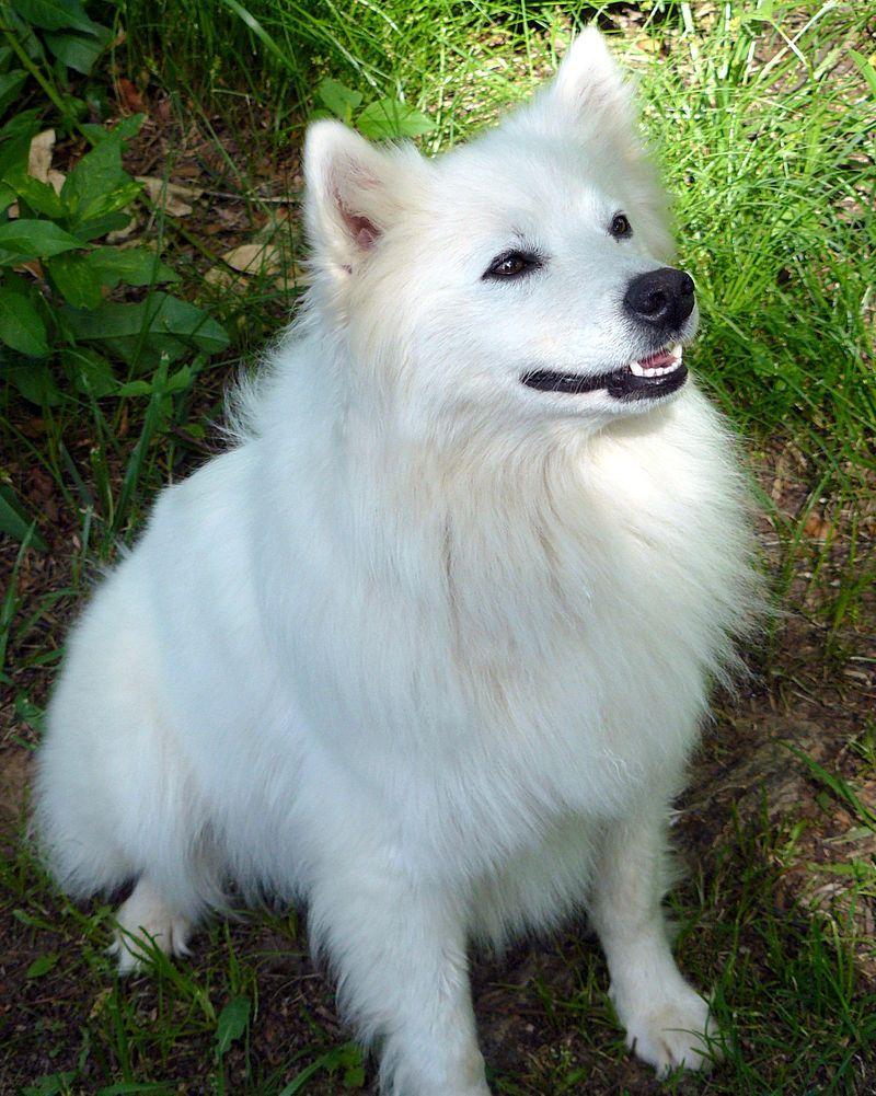 Американский шпиц (американская эскимосская собака)