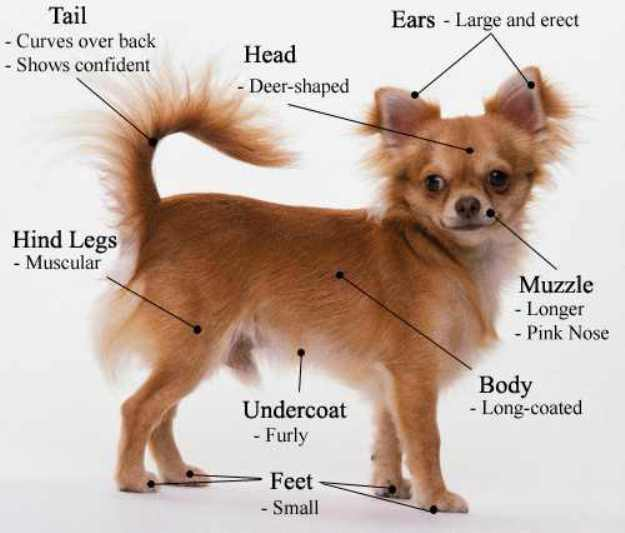 Чихуахуа мини: щенки и взрослые собаки