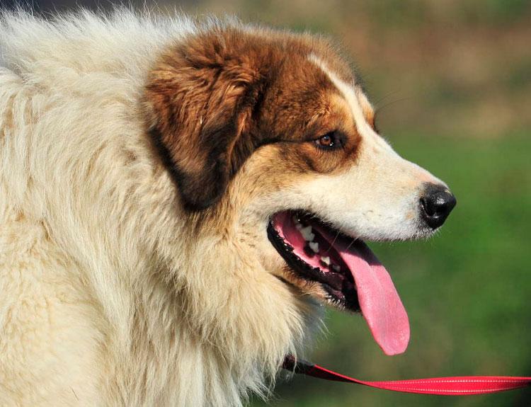 Торньяк (Боснийско-герцеговинско-хорватская пастушья собака)