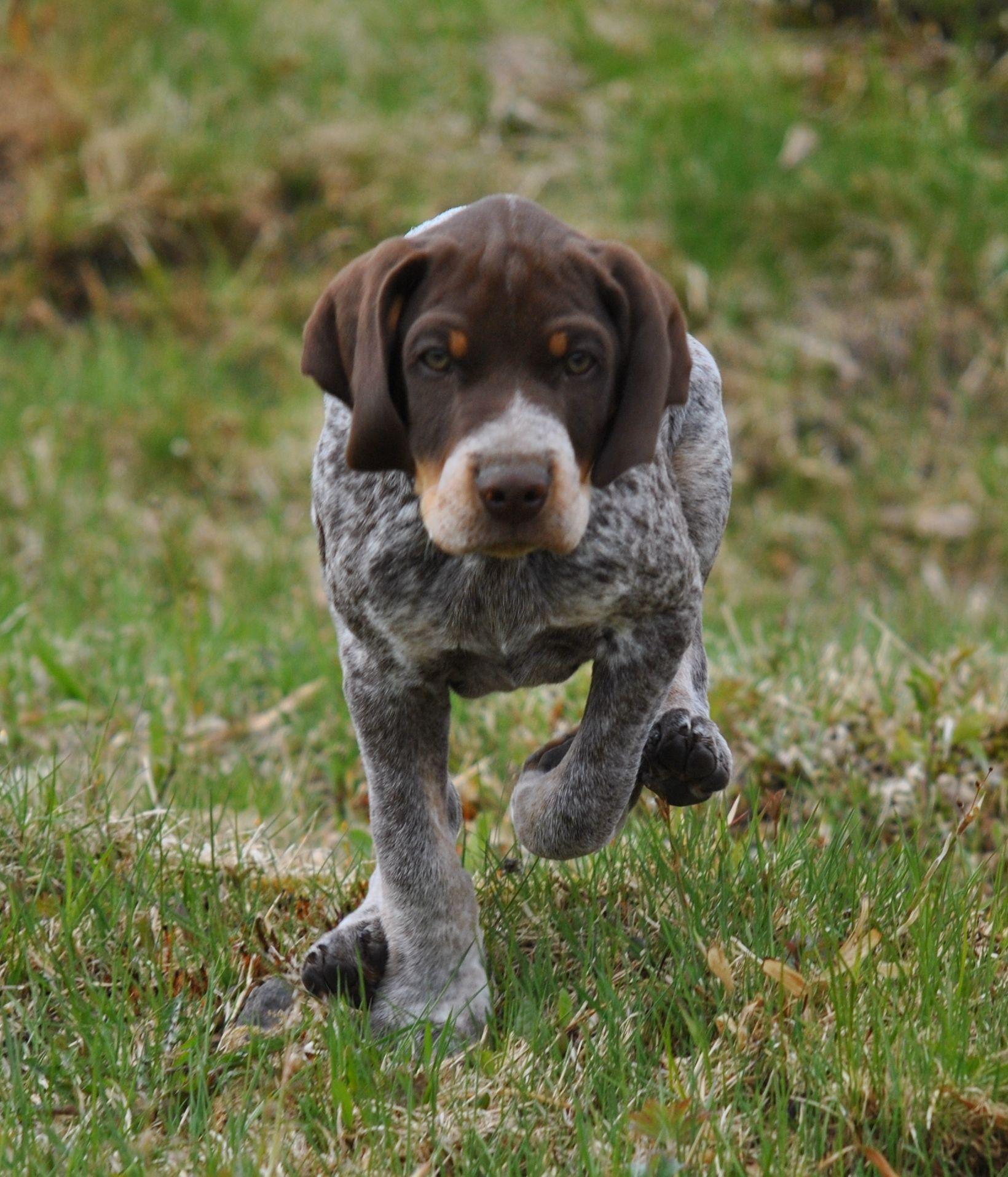 Пойнтер (порода собак): описание, воспитание и другое