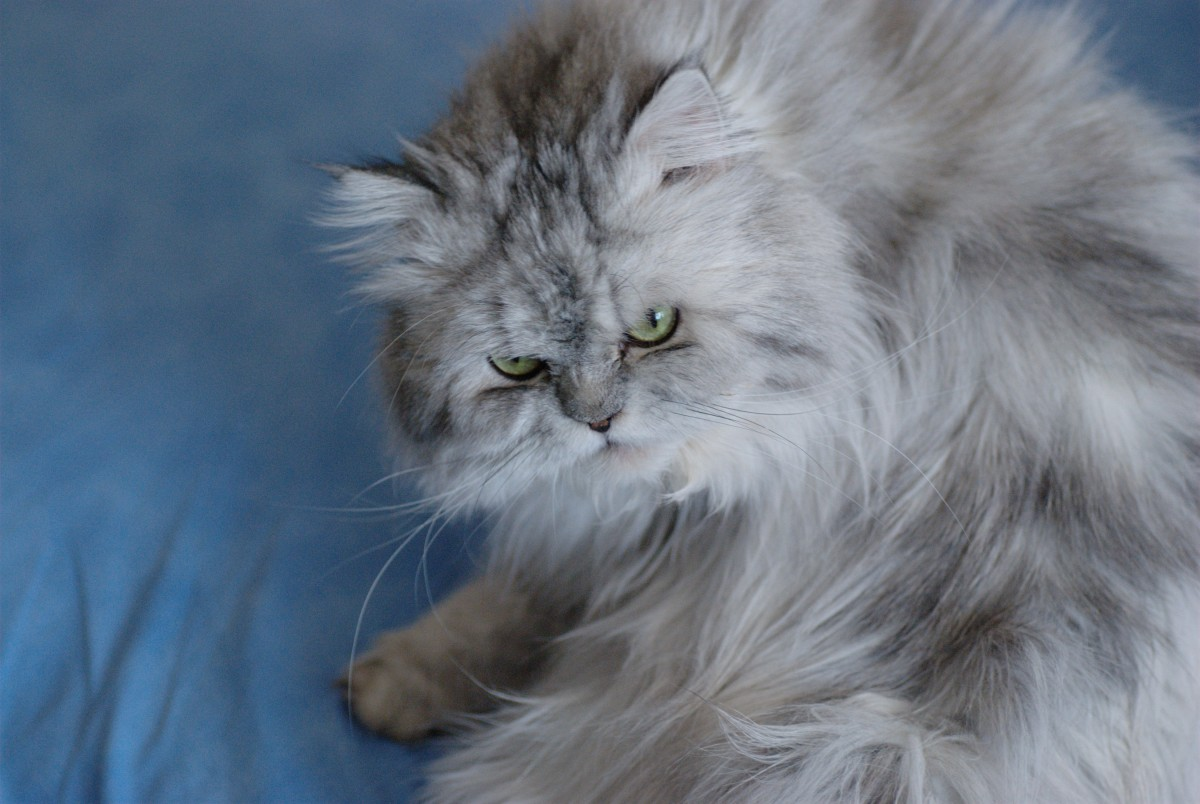 Пушистые кошки: породы и особенности ухода