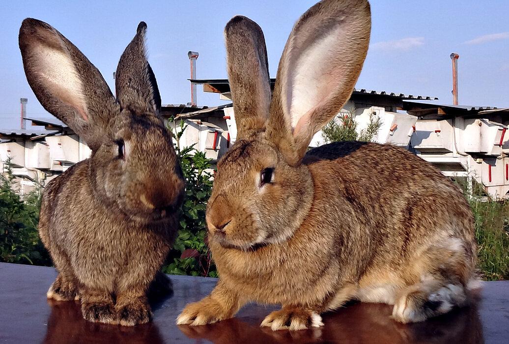 Декоративные породы кроликов: рейтинг самых интересных