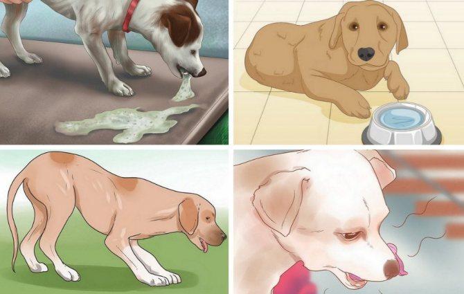 Собаку рвет: почему тошнит щенка после еды