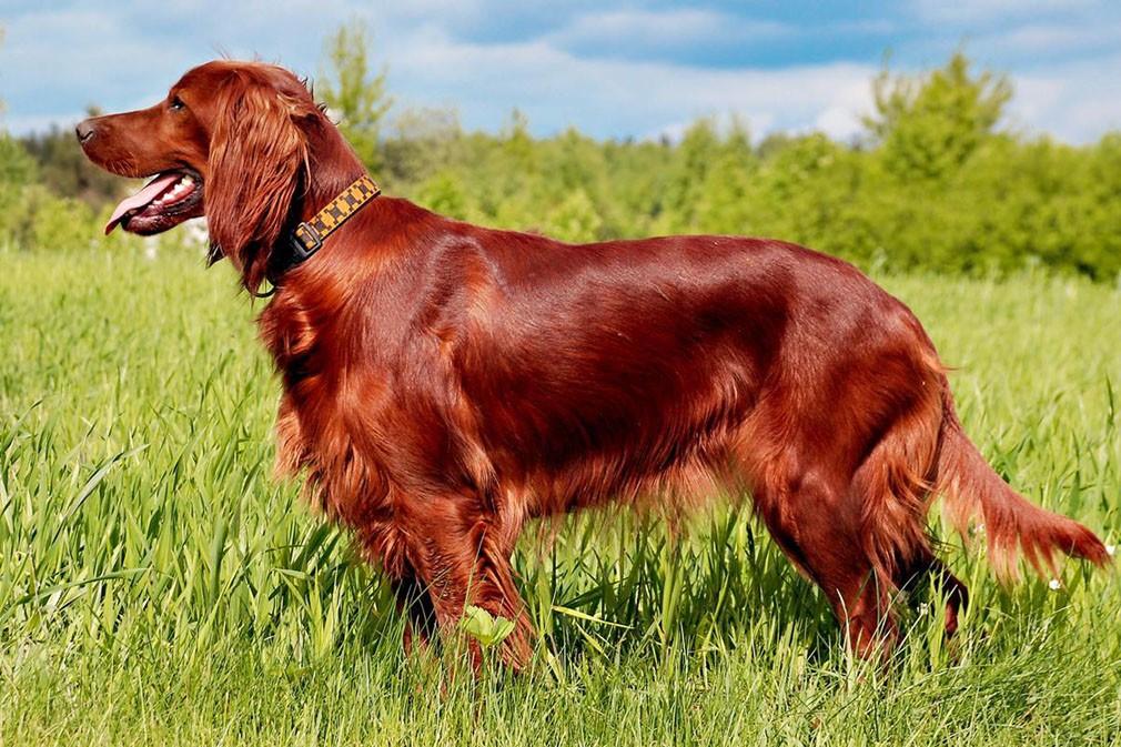 Ирландский сеттер (красный): характеристика породы