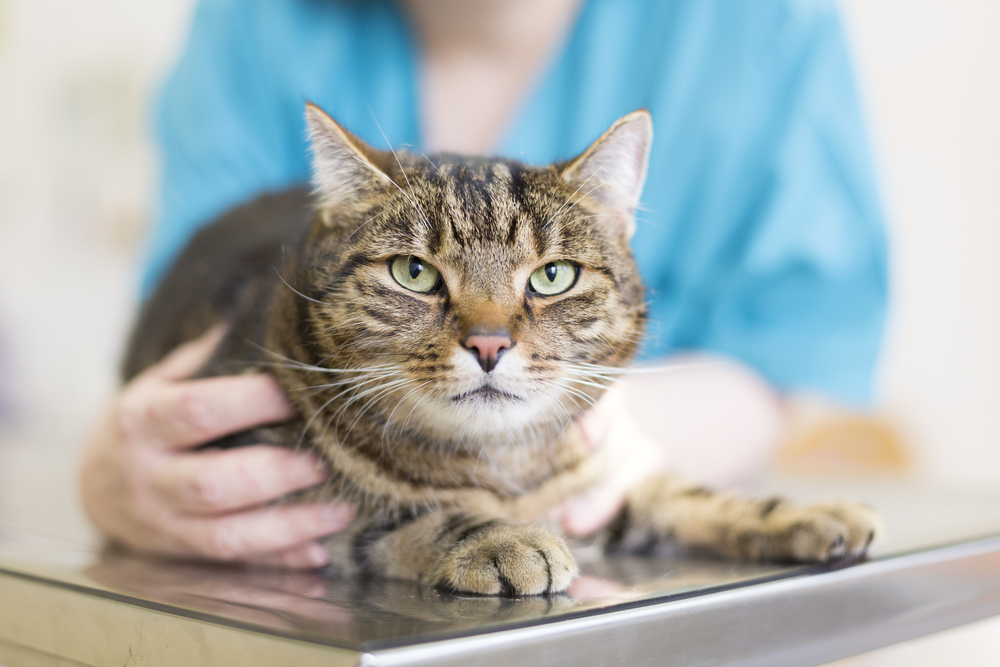 Инфекционная анемия кошек и котов