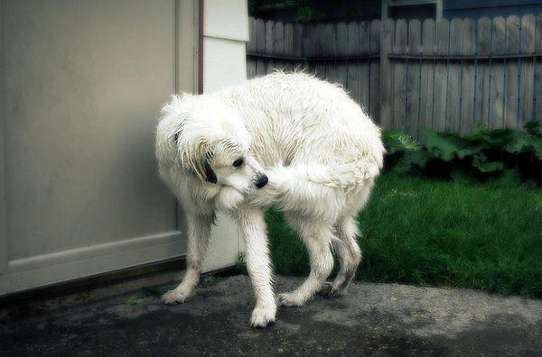 Почему собака грызет свой хвост до крови: что делать