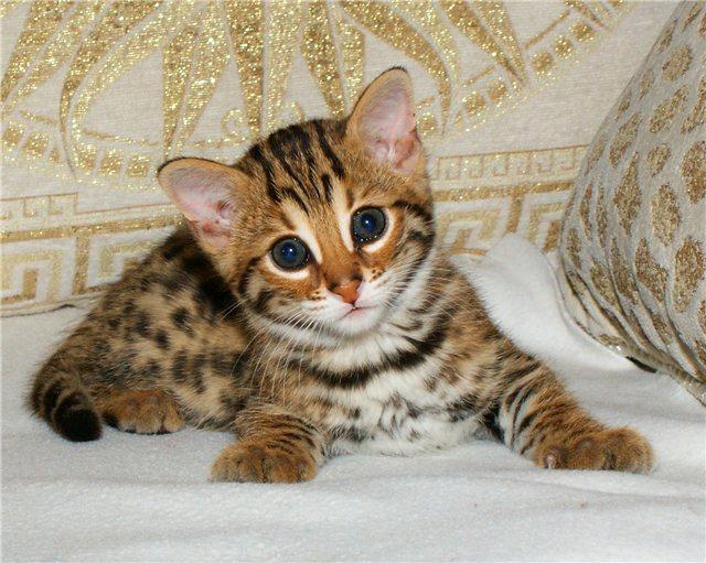 Уссурийская кошка (Уссурийский кот, уссури)