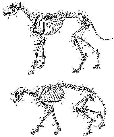 Скелет кошки: анатомия, череп, строение