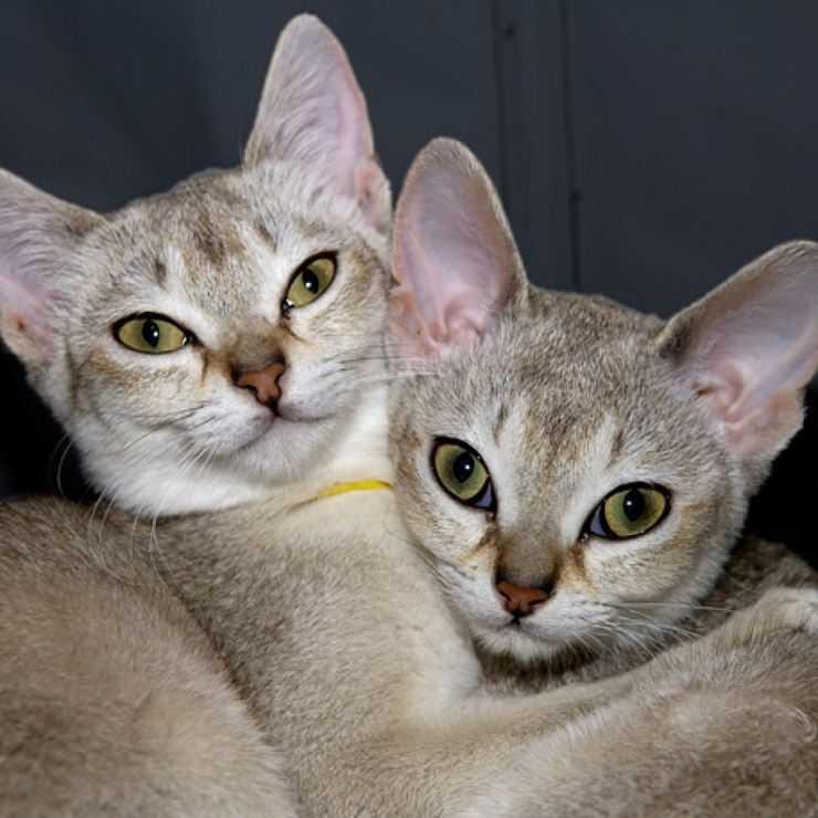 Сингапурская кошка: подробное описание породы