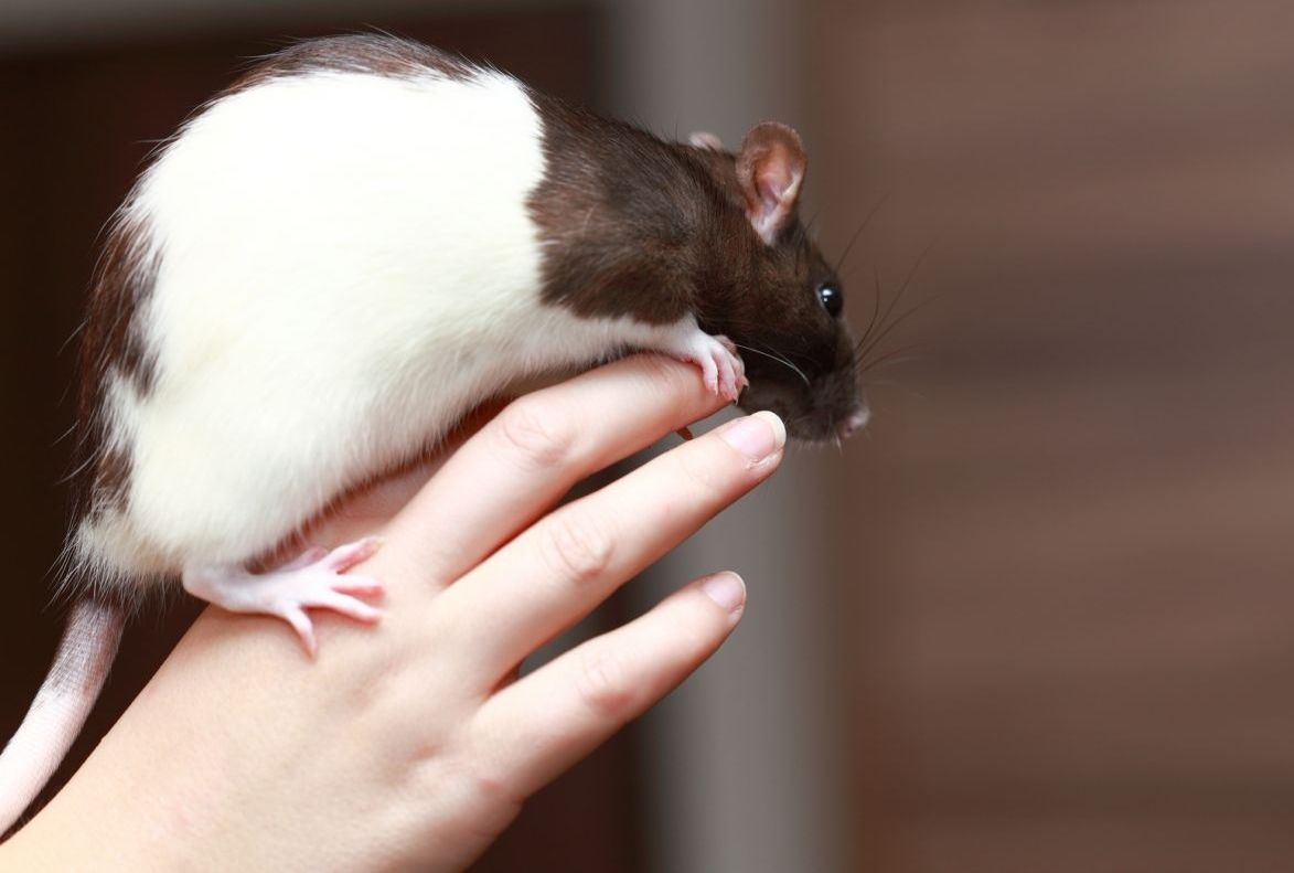 Как приручить крысу к рукам в домашних условиях