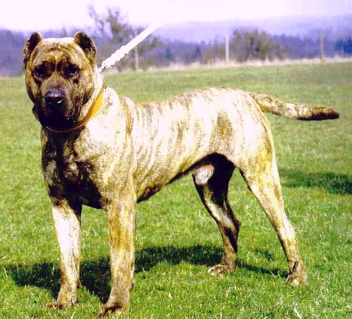 Алано (Аланская собака, Испанский бульдог)