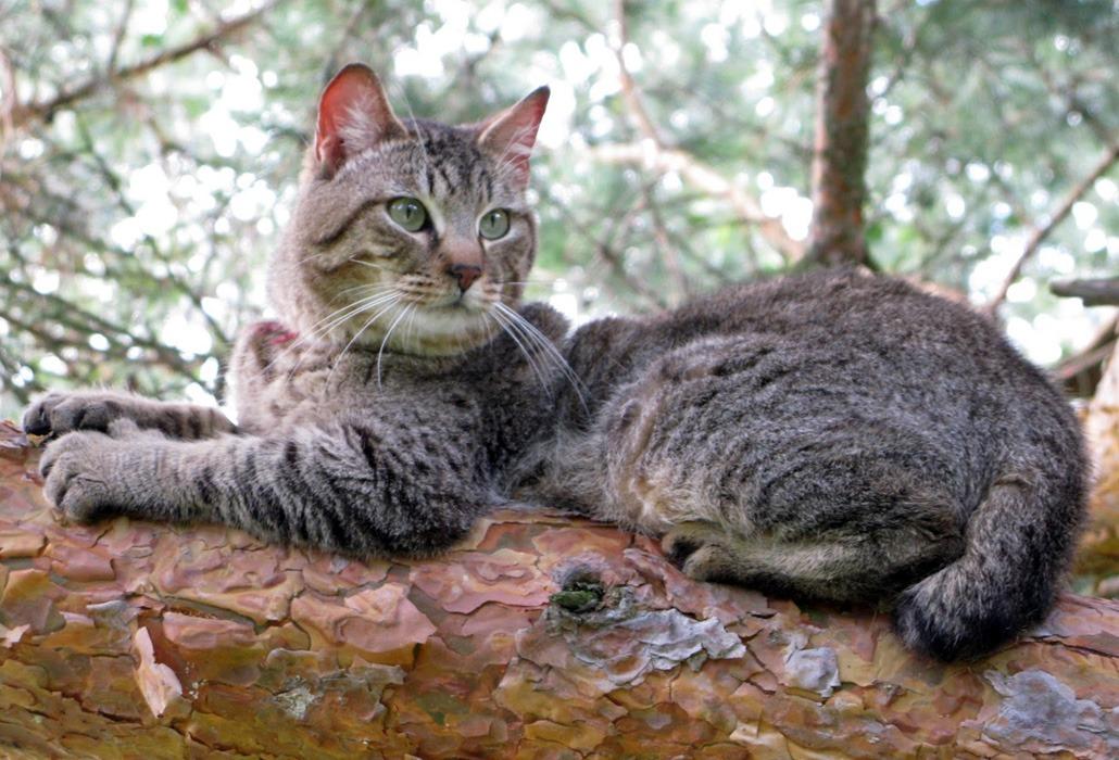 Пиксибоб кошка — интересная порода