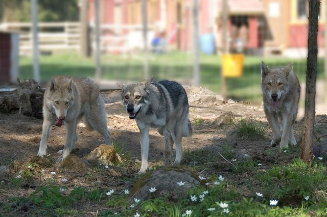 Волчья собака Сарлоса: подробное описание породы