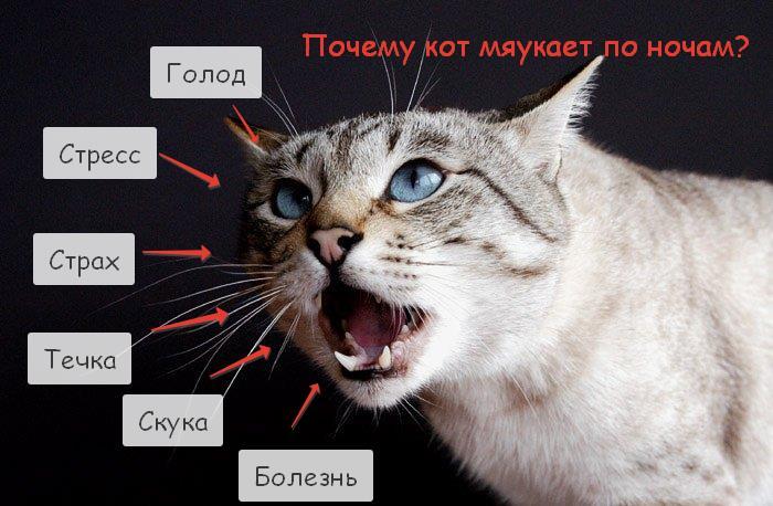 Почему кошки мяукают без причины