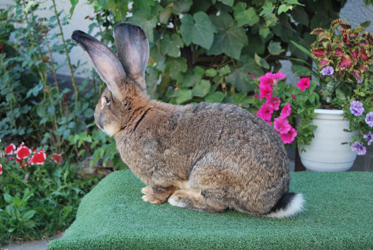 Кролики фландеры: все о бельгийской породе, содержание, сколько весит