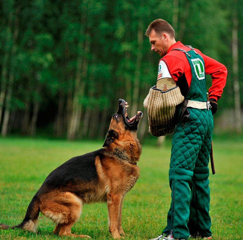 Как правильно дрессировать немецкую овчарку в домашних условиях