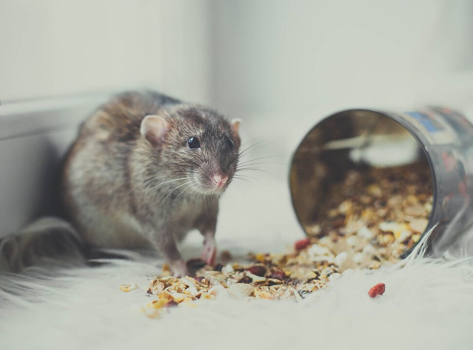 Что едят мыши в природе и дома — список продуктов