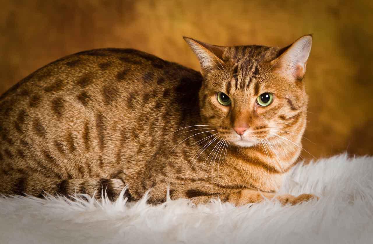 Оцикет: кошки и коты