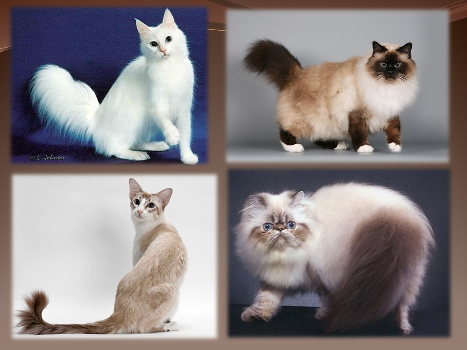 Рэгдолл (кошка): описание породы и характера