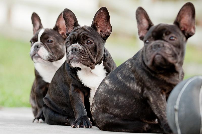 Французский бульдог (черный и голубого окраса): описание породы
