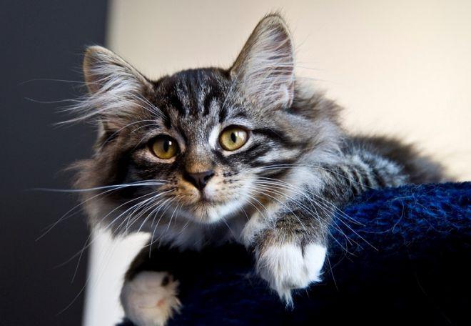 IQ домашнего любимца: самые умные породы кошек
