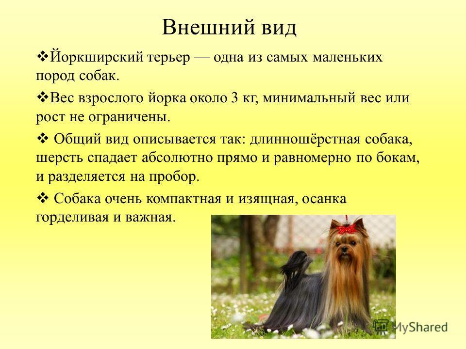 Норфолк-терьер: описание породы, характер