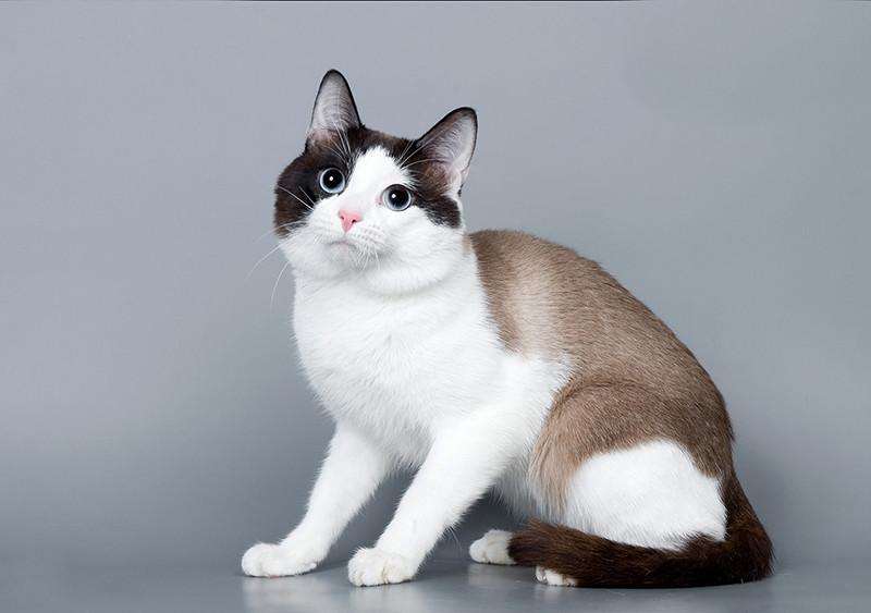 Сноу-шу: кошки и коты