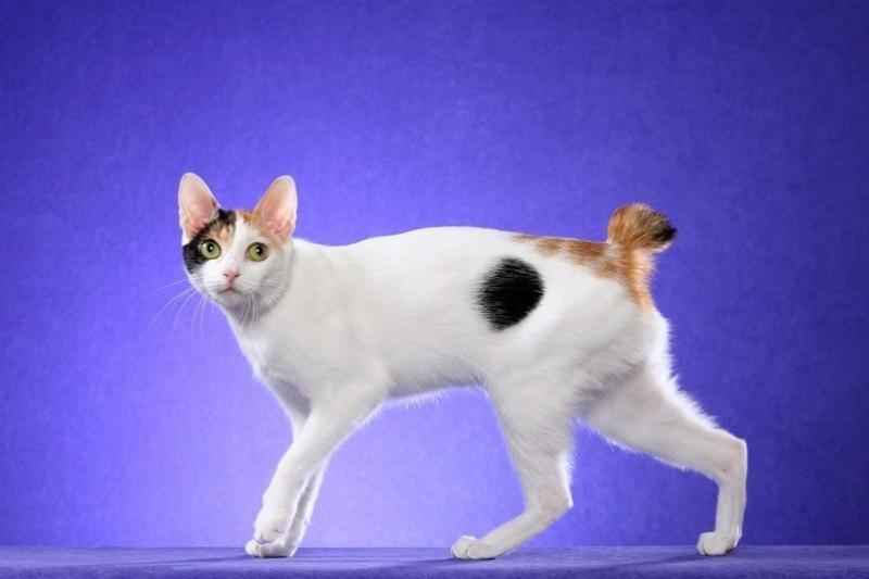 Японский бобтейл — порода кошек