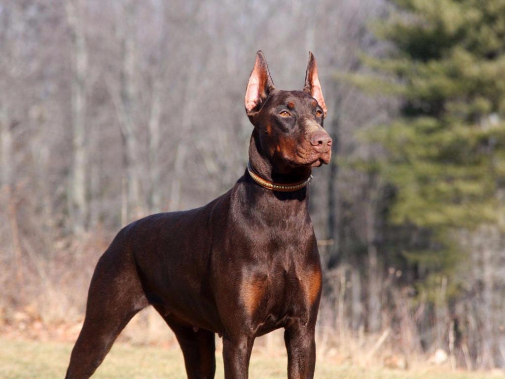Топ-10 самых злых пород собак