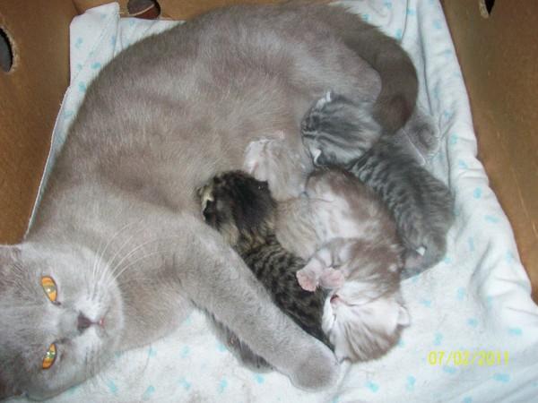 Сколько котят может родить кошка максимум