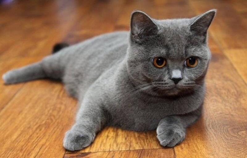 Скоттиш-страйт: шотландские кошки с прямыми ушами