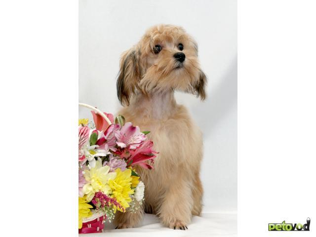 Петербургская орхидея: оригинальная маленькая комнатная собачка