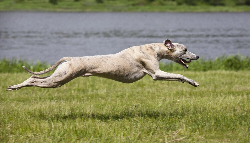 Самая быстрая собака в мире при беге: ТОП-10