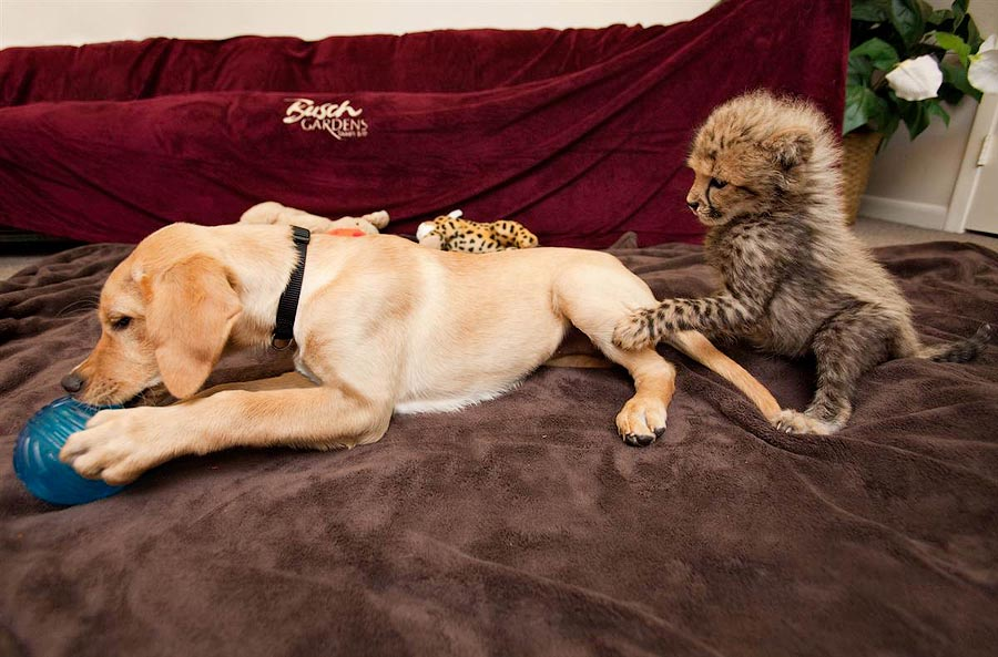 Топ 5 пород кошек, которые преданные своему хозяину не меньше, чем собаки