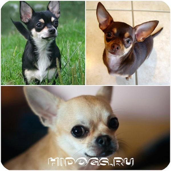 Чихуахуа: описание породы собак, характер