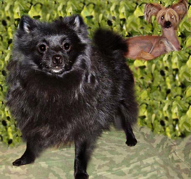 Смесь чихуахуа и шпица: описание породы собак