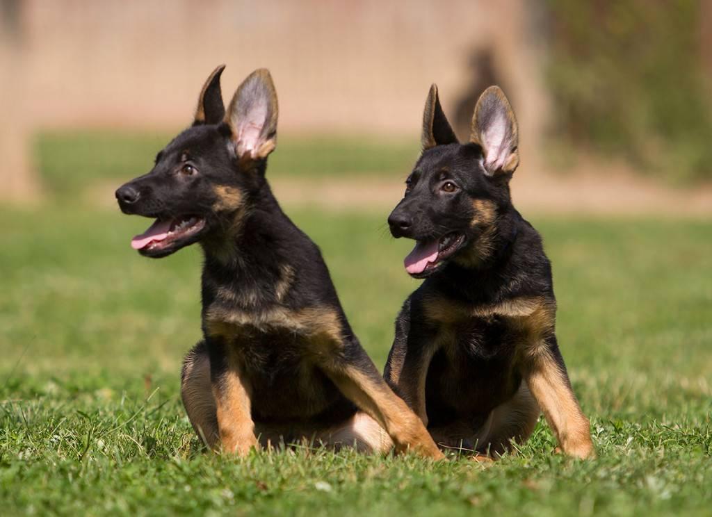 Как правильно выбрать щенка немецкой овчарки