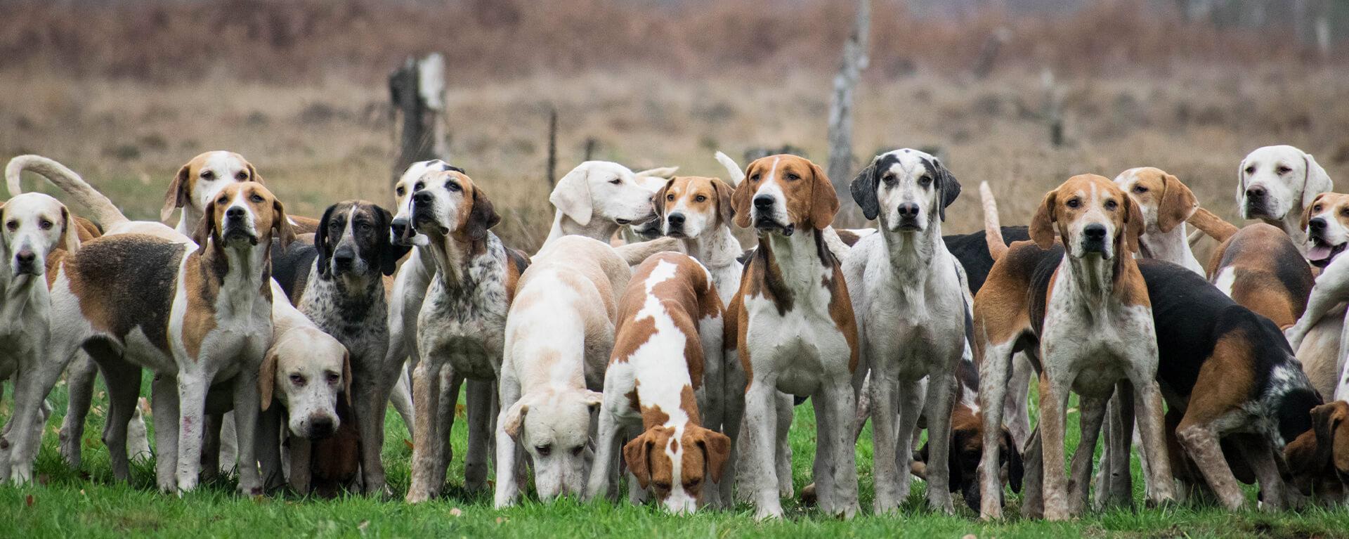 Группа гончих пород: идеальные охотники