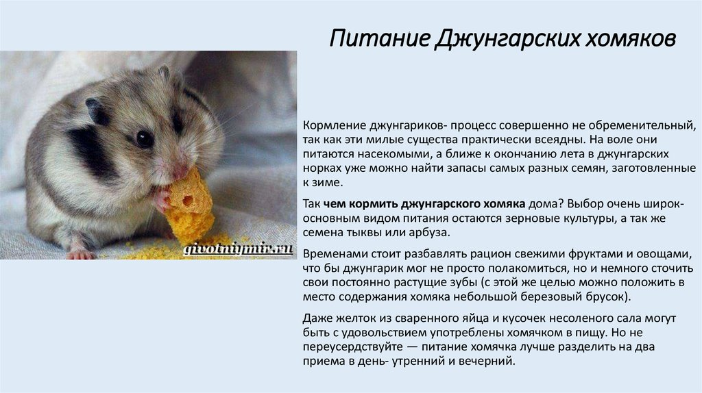 Что едят хомяки — какой корм давать, чем полезно питаться