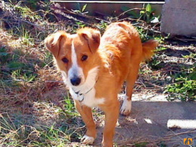 Алопекис (Маленькая греческая собака)