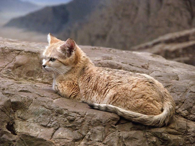 Барханный кот (пустынная кошка): описание арабской породы